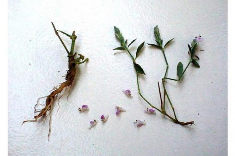 Herb of Rungia repens Nees.