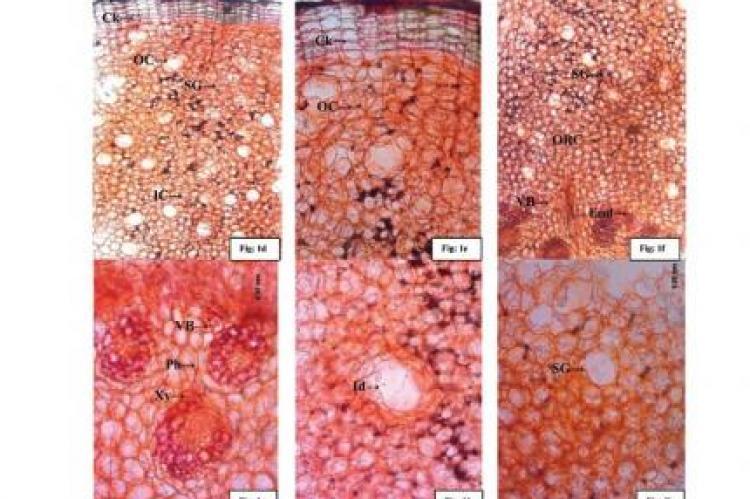 Macro-microscopic features of rhizome of Curculigo orchioides