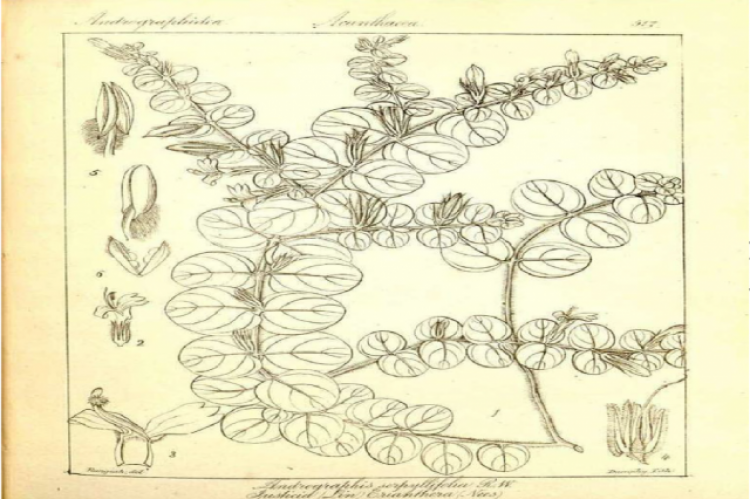 Herbarium records of A.serpyllifolia (Kev Botanical Gardens)