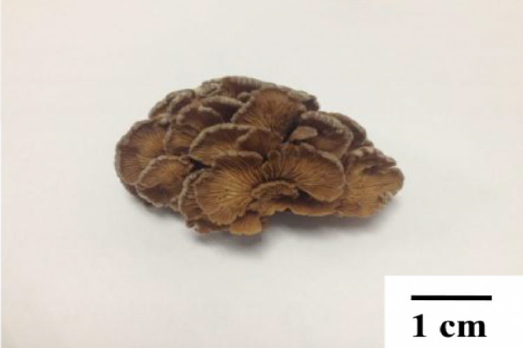The matured fruit body of split gill mushroom