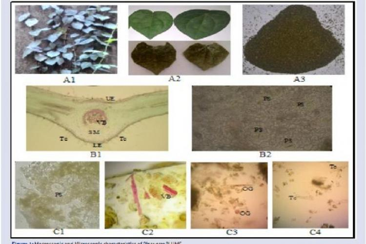 Macroscopic and Microscopic characteristics of Piper acre BLUME. Where; (A1) Piper acre Blume in natural habitat; (A2) a part showing the fresh and dried leaf; (A3) dried leaf powder; (B1) Transversal and (B2) longitudinal sections of the fresh leaf, (C) dried leaf powder; (UE) upper epidermis; (VB) vascular bundle; (Tc) Trichome; (SM) spongy mesophyll cell; (LE) lower epidermis; (PS) paracytic stomata; and (OG) oil glands.