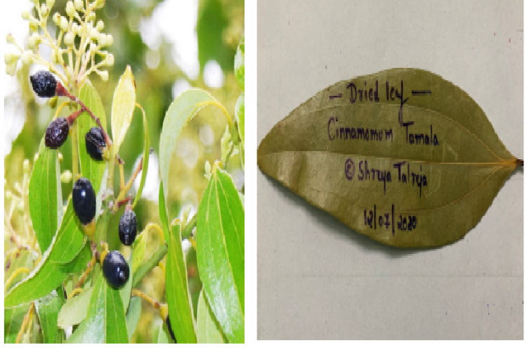 (a):- Image of c.tamala leaves, flower, fruits (Image source- nursery pioneer),26 (b):- Image of dried leaves of cinnamomum tamala