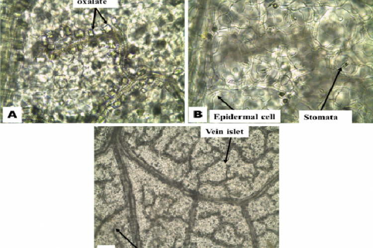 Microscopic characteristics of the leaf surface of P. amarus