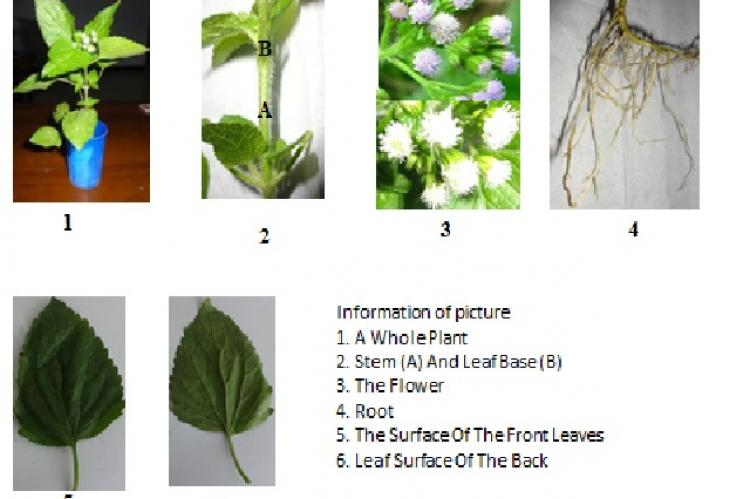 Profile Macroscopical of fresh plant of Ageratum conyzoides