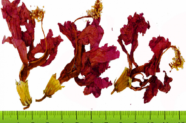 Dried Flowers of Hibiscus rosa-sinensis.
