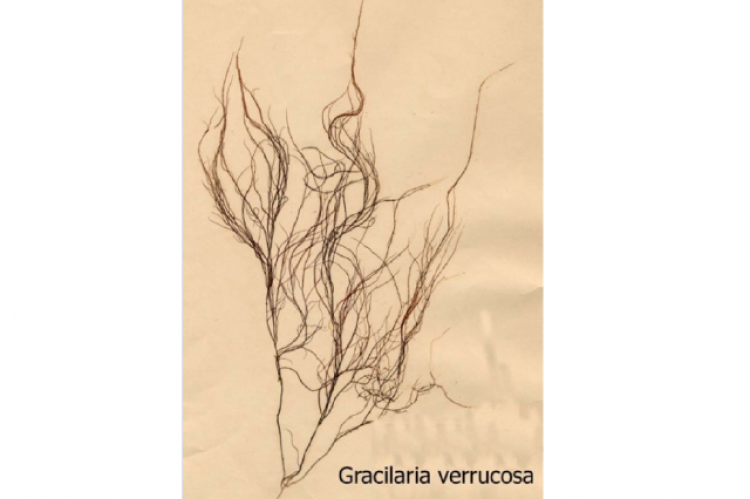 Figure 1: Morphology of Gracilaria verrucosa.