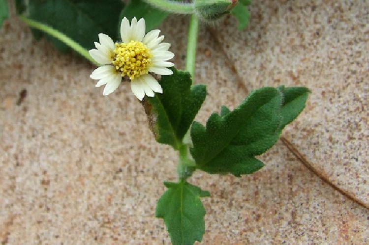 Tridax procumbens L