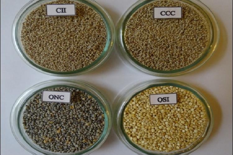 Cañihua ILLPA INIA (CII), Cañihua Cupi (CCC), Quinoa Negra Collana (QNC) and Quinoa Salcedo INIA (QSI)