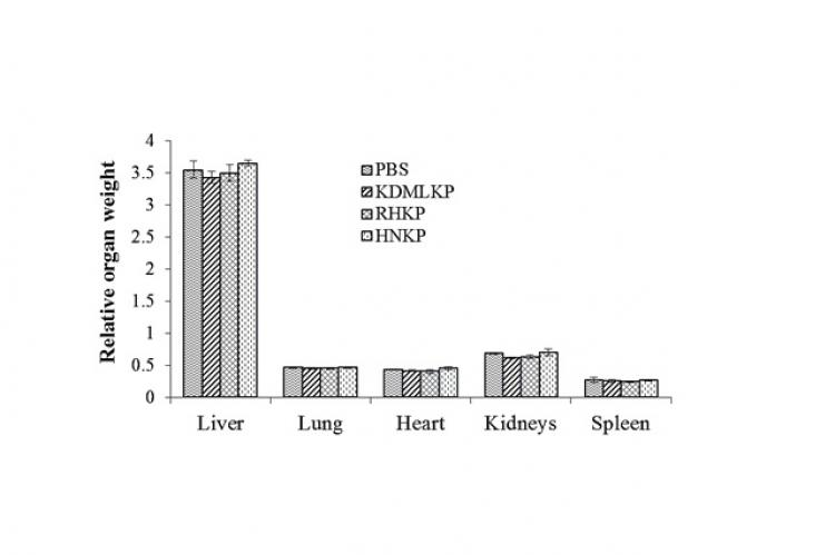 Relative organ weight in rats treated with PBS, KDMLKP, RHKP, and HNKP after the sub-chronic toxicity experiment (mean±SEM)