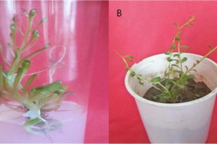 Schematic representation of in vitro root induction in Rhodiola imbricata (A) In vitro rooted shoots in agar gelled medium supplemented with auxin, (B) Hardening of in vitro rooted plants.