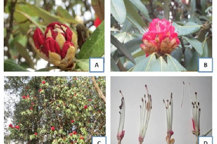 Morphological characteristics of R. arboreum (A, B: Flower; C: Tree, D: Reproductive organs of flower).