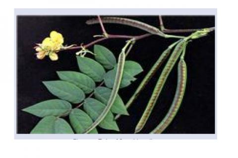 Twig of S. occidentalis.