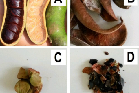A) Fruits, B) Fruit shells, C) Seeds, D) Seed shells of Archidendron bubalinum.