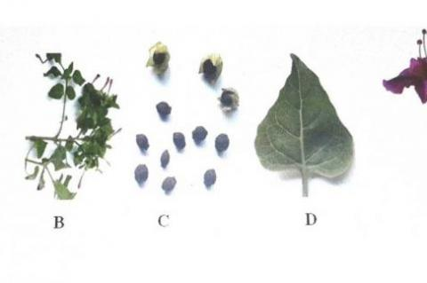 A. Tuber, B. Branch, C. Seeds, D. Fresh leaf, and E. Flower of M. jalapa.