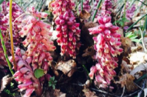 The common toothwort in bloom stage