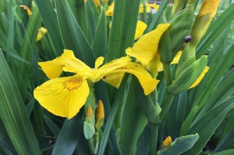 Iris pseudacorus, flowering plant