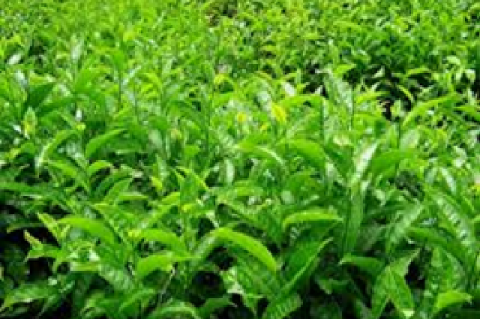 Field view of green tea (Camellia sinensis L.) plant