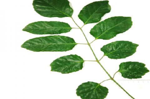 Macroscopy of Polyscias guilfoylei L. leaves