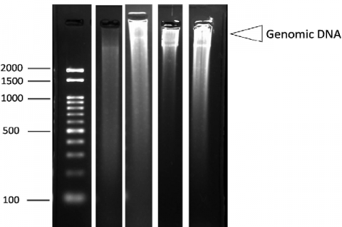 DNA Ladder Assay for Detection of Apoptosis in HeLa Cells Treated with Macroalgae Extracts