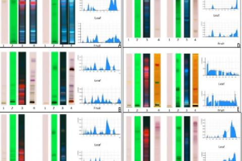 Chromatographic fingerprint secondary metabolites in total methanol extracts of leaves and fruits