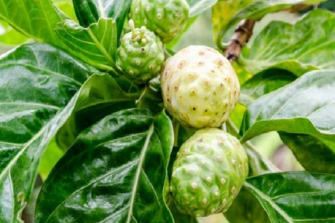 Noni fruit (Morinda citrifolia L.)