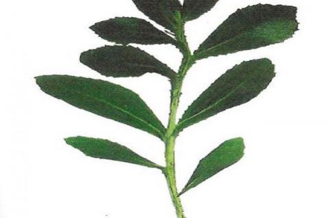 Sphaeranthus indicus Linn