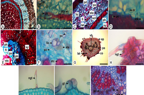 Cross-sections of the root, stem and petiole of Croton cordiifolius Baill. Root: A. general view. B. crystals and starch. Stem: C. cortical region. D. crystals and starch. E,F. medullar region and vascular system. Petiole: G. general view. H. stellate trichome. I. simple trichome. J. glandular trichome. K. crystals and starch. co: collenchyma, dr: druse, ep: epidermis, fi: fiber, gt: glandular trichome, lat: laticifer, lic: lignified cell, ngt: non-glandular trichome, pa: parenchyma, pc: prismatic crystal,