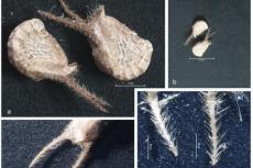Mericarps of Sida cordifolia