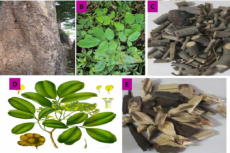 Different parts of the plant P. marsupium. (A). Bark, (B). Leaves, (C). Heartwood, (D). Twig, (E). Small branches.
