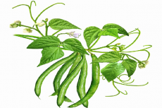The image of green bean