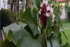 Sesewanua (Clerodendrum fragrans Wild.)