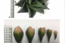 Morphology of H. limifolia, A: aerial part (x =0.2), B: leaves (x=0.25)